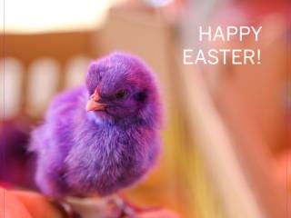 easter, påske, holidays, chicken, purple